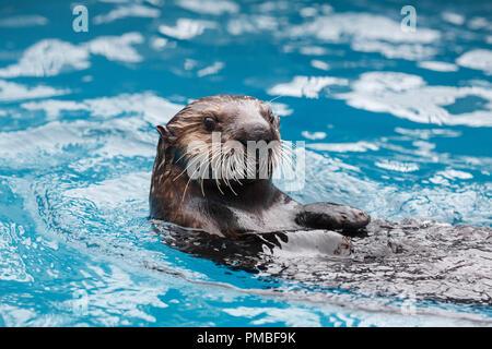 Sea Otter, Alaska SeaLife Center, Seward, Alaska - Stockfoto
