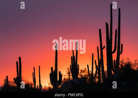 Sagauro Kaktus gegen Sonnenuntergang Himmel. Arizona. - Stockfoto