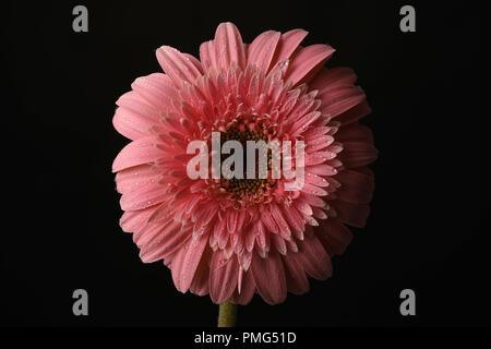 Rosa Sonnenblumen in einem schwarzen Hintergrund - Stockfoto