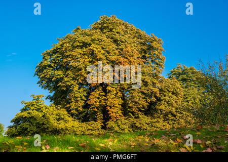 Einen schönen großen hohen einzelnen Rosskastanie (Aesculus) Baum, von Sträuchern der gleichen Art umgeben, in dem die bunten Blätter im Herbst wie ein... - Stockfoto