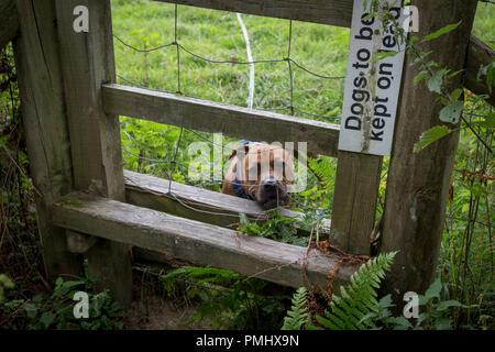 Ein Staffordshire Bull Terrier auf eine lange Vorlaufzeit Peers durch die Leitung eines Stils in der englischen Landschaft, am 10. September 2018, in der Nähe von Lingen, Herefordshire, England UK. Vor dem Eintritt in den Bereich, in dem die Schafe weiden, sind alle Hunde müssen auf führt zu werden Schafe sorgen, die in der Strafverfolgung durch verantwortungslose Hundebesitzer führen kann, zu vermeiden. - Stockfoto