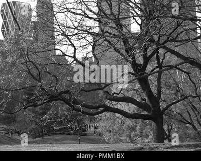 Alter Baum im Central Park, New York City, in Schwarz und Weiß - Stockfoto
