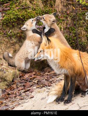 Red Fox Mutter und zwei Satz Füchse wrestling. - Stockfoto