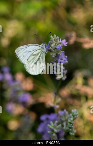 Pieris brassicae, Kohlweißling auf Blume - Stockfoto