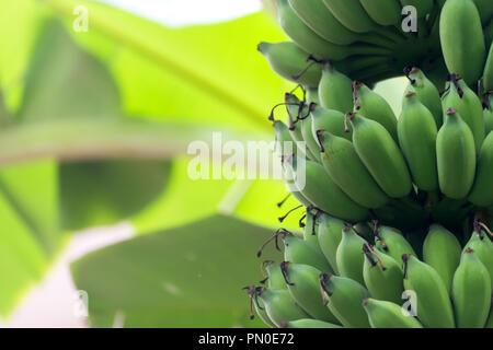 Bananenstaude mit unreifen rohe grüne Bananen reifen die Trauben wachsen auf der Plantage auf organische banana Farm. Nahrungsmittel und landwirtschaftliche Konzept. - Stockfoto