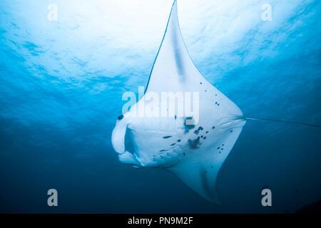 Manta Ray. Schwimmen im blauen Ozean. Insel Yap der Föderierten Staaten von Mikronesien - Stockfoto