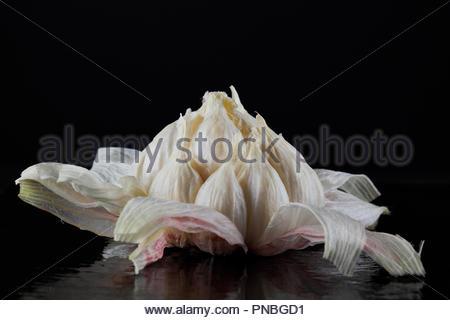 Nahaufnahme einer frischen Kopf des Knoblauchs, der mit seinen feuchten Haut geschält, auf einem schwarzen Hintergrund. - Stockfoto