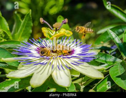 Bluecrown Passionsblume (Passiflora caerulea) Blüte,. Bienen Bestäubung auf einer Blume der Passionsblumen. Blüte biene Nahaufnahme Garten - Stockfoto