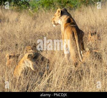 Lion - Stockfoto