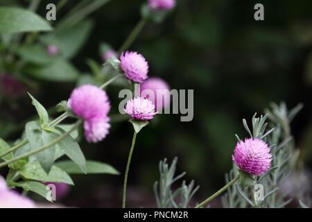Globus Amaranth oder Gomphrena nana Blumen wachsen in einem Garten. Extrem flache Tiefenschärfe mit selektiven Fokus auf Blume in der Mitte vom Bild. - Stockfoto