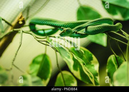 Große Augen Grün Pitviper (Ein älterer Name macrops) Arten endemisch in Südostasien - Stockfoto