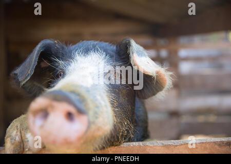 Schwein im Pen. Schwerpunkt liegt auf Auge. Geringe Tiefenschärfe. - Stockfoto