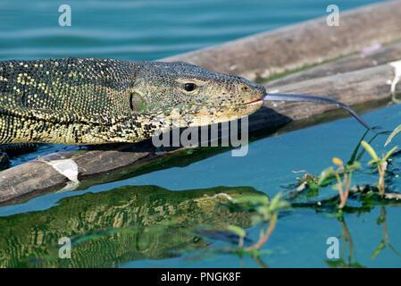 Wasser Monitor (Varanus Salvator), Thailand Varan Malais - Stockfoto