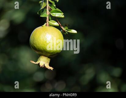 Unreife grüne Granatapfel Obst. Unscharfer Hintergrund. - Stockfoto