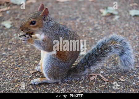 Eichhörnchen essen auf dem Boden im St James's Park in London, Vereinigtes Königreich - Stockfoto