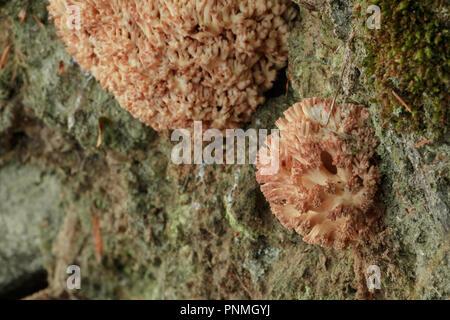 Rosa Ausfluss Pilz