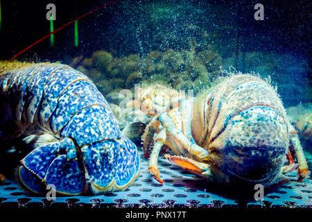 Ansicht von hinten auf die Schwänze von live Exotische und teure zwei crayfishes im Aquarium platziert, Tank an der traditionellen Seafood Restaurant zum Verkauf. - Stockfoto
