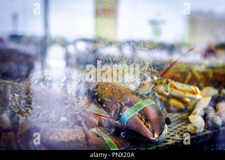 Live Exotische und teure Krebse mit gebunden Klauen sind im Aquarium, Tank an der traditionellen Seafood Restaurant zum Verkauf. - Stockfoto