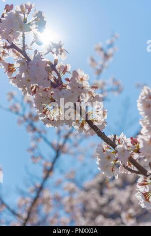 Kirschblüte in Tokio bei Meguro Fluss, Japan Meguro Fluss Sakura Festival. - Stockfoto