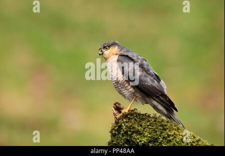 Nahaufnahme des Eurasischen Sperber (Accipiter nisus) hocken auf einer hölzernen bemoosten Post, Schottland, Großbritannien. - Stockfoto