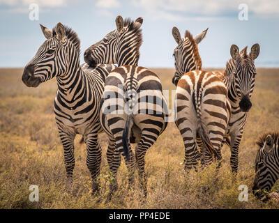 Zebra im gras natur Lebensraum, Tansania. Wildlife Szene aus Natur, Afrika