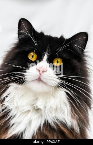 In der Nähe von einem wunderschönen schwarzen und weißen Rag Doll cat mit leuchtend gelben Augen - Stockfoto