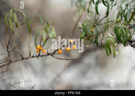 Filiale reife Sanddorn Beeren im Herbst nebligen Tag mit hellen orangen Beeren und trocken - Stockfoto