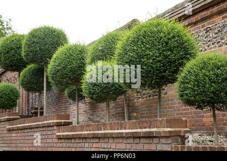 Box Bäume mit sphärischen Tops entlang eines roten Mauer wächst. - Stockfoto