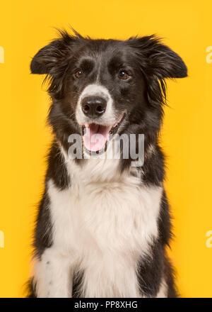 Border Collie dog portrait auf gelbem Hintergrund in einem Bild vertikal - Stockfoto