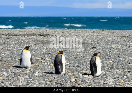 Drei Königspinguine (Aptenodytes patagonicus), auf Schotter bank im Bahia Inutil, Parque Pingüino Rey, Porvenir - Stockfoto