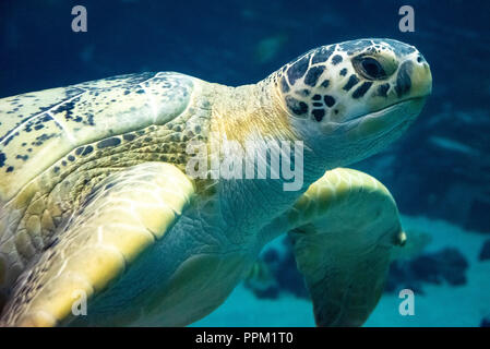 Grüne Meeresschildkröte (Chelonia mydas) am Georgia Aquarium in der Innenstadt von Atlanta, Georgia. (USA) - Stockfoto