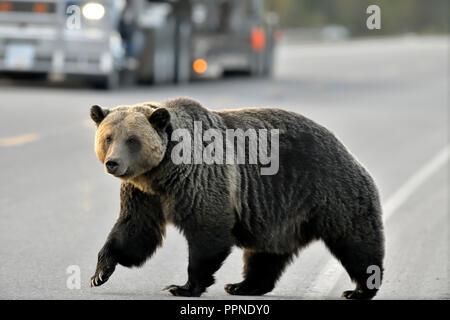 """Eine Nahaufnahme Seitenansicht eines Erwachsenen grizzly Bär """"Ursus arctos"""", die über die Landstraße in ländlichen Alberta Kanada - Stockfoto"""