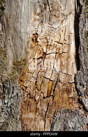 Alte Baumstamm seine Rinde mit Risse und Flecken in der Abendsonne - Stockfoto