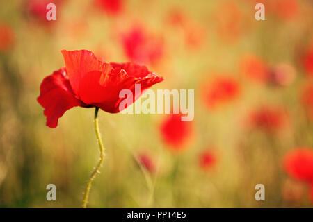 Schönen roten Mohn gegen gelbe Hintergrund verschwommen - Stockfoto