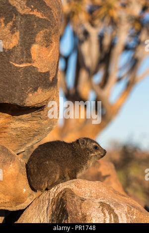 Klippschliefer (Procavia capensis), Köcherbaumwald, Keetmanshoop, Namibia, Afrika - Stockfoto