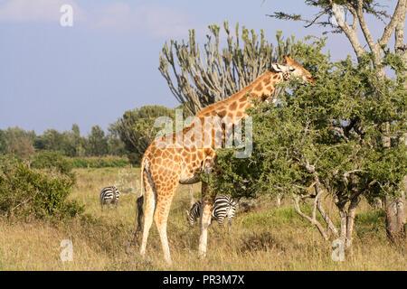 Eine Netzgiraffe surft auf einem Baum mit Zebras und euphorbia Kakteen im Hintergrund. - Stockfoto