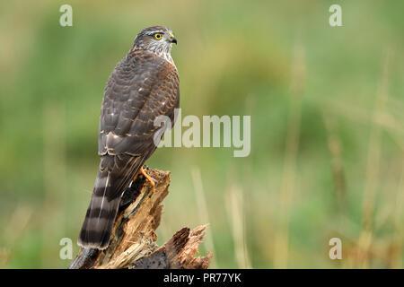 Euarsian sarrowhawk (Accipiter nisus) - Stockfoto