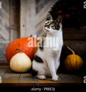 Katze mit amputierten Bein sitzen vor der Haustür mit Kürbissen dekoriert. Veranda für die Halloween, Thanksgiving, Herbst eingerichtet. - Stockfoto