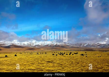 Landschaft von Norden bis Damshung von Lhasa, Tibet, China. Ein yak Herde weiden auf den Ebenen. - Stockfoto