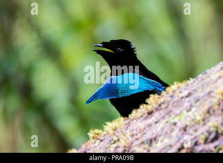 Männliche Lophorina niedda, oder Vogelkop Super Bird-of-Paradies, in das Umwerben. Arfak Syoubri, Berg, West Papua, Indonesien. - Stockfoto