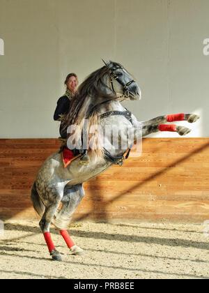 Andalusischen Hengst Aufzucht mit Schönheit weibliche Mitfahrer in traditionellen Matador Kostüm person Reiten ein apfelschimmel graues Pferd - Stockfoto