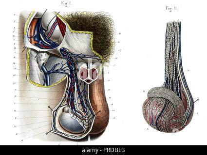 Darstellung der Anatomie der männlichen Hoden Stockfoto, Bild ...
