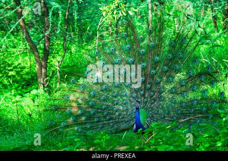 Peacock tanzen in der Mitte der Bäume in einem Wald. Dieser verpaarung Stockfoto