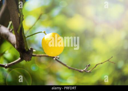 Gelbe Zitrone Obst in einem Zweig auf sonnigen Sommertag Reif. Die hellen, sanften Sonnenstrahlen von der Ecke erzeugen weiches Licht. Konzept der gesunden Lebensweise. Essen v - Stockfoto