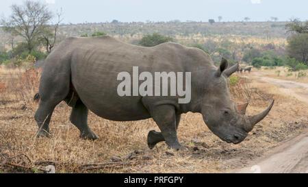 Nashorn - Stockfoto