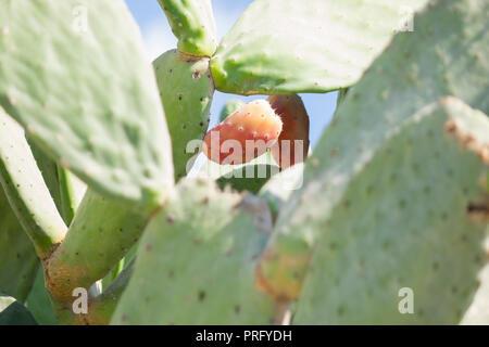 Nahaufnahme von Purple Cactus flower Lampe Kaktus mit wild Cactus Hintergrund - Stockfoto