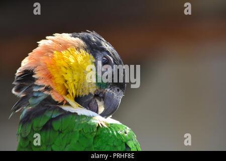Grün, Schwarz, Gelb und Pink parrot Reinigung Federn, Ansicht schließen - Stockfoto