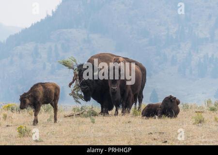 Bull Bison, die versuchen, eine Kuh mit einem riesigen Salbei Bürste hat im  Yellowstone 7db8582c26