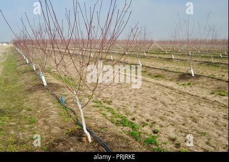Unfruchtbaren Blatt-free junge Gepflanzten Mandelbäumen auf Bauernhof im Winter an einem sonnigen Tag, Zubehör Muttern mit Blue Diamond Kooperative außerhalb Manteca, Kalifornien, USA - Stockfoto