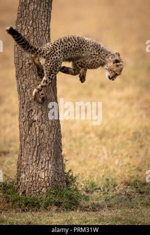 Cheetah cub springt aus dem Stamm des Baumes - Stockfoto